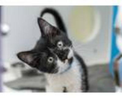 Adopt Garner a All Black Domestic Shorthair / Domestic Shorthair / Mixed cat in