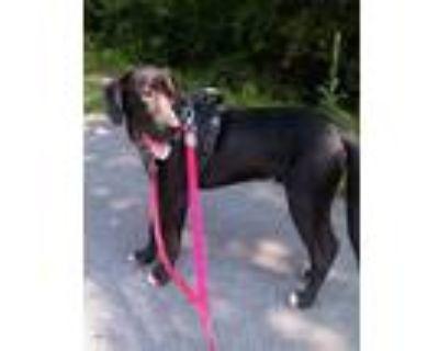 Adopt Chocolate Peppermint Crunch a Great Dane, Labrador Retriever