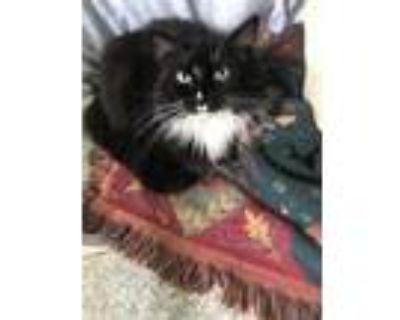 Adopt Bonham a All Black Domestic Longhair / Domestic Shorthair / Mixed cat in