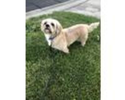 Adopt Gizmo a Tan/Yellow/Fawn - with White Shih Tzu / Shih Tzu / Mixed dog in