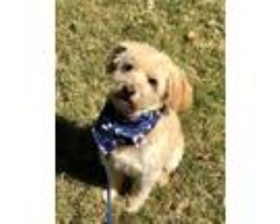 Adopt Tyler a Tan/Yellow/Fawn Terrier (Unknown Type, Medium) / Poodle