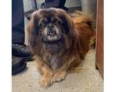Adopt Gizmo a Tan/Yellow/Fawn Pekingese / Mixed dog in Buffalo, NY (31520628)