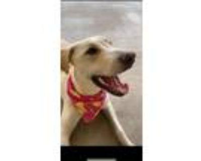 Adopt Honey a Tan/Yellow/Fawn Labrador Retriever / Mixed dog in El Paso