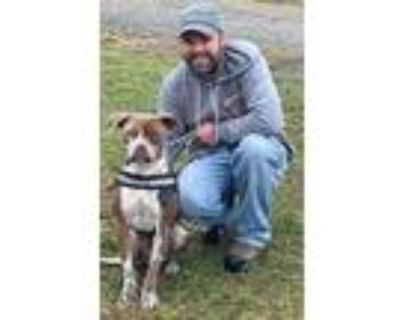 Adopt Blaze a Brown/Chocolate - with White Pit Bull Terrier / Mixed dog in