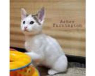 Adopt Asher Furrington a Gray, Blue or Silver Tabby Domestic Shorthair / Mixed