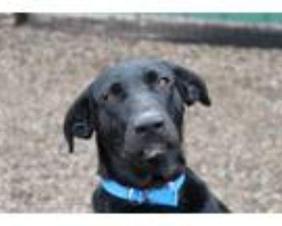 Adopt Otis a Black - with White Labrador Retriever / Australian Shepherd / Mixed