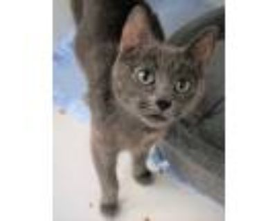 Adopt Sunday a Gray or Blue Domestic Shorthair / Domestic Shorthair / Mixed cat