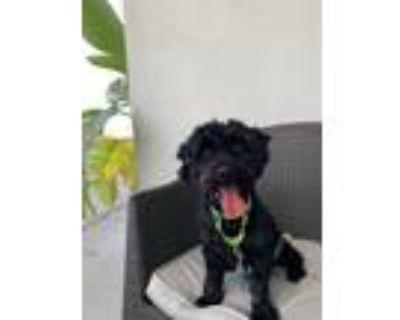 Adopt Oliver a Scottish Terrier, Poodle