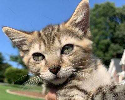 Joey - Domestic Shorthair - Kitten Male