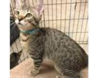 Adopt Carlile a Brown or Chocolate Domestic Shorthair / Mixed cat in Blasdell