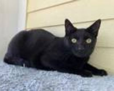 Adopt Hogfish a All Black Domestic Shorthair / Domestic Shorthair / Mixed cat in