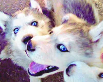 HUSKY PUPPIES , beautiful $600 each, call or text for pictures 575-418-8492