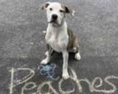 Adopt Peaches a Brindle American Pit Bull Terrier / Mixed dog in Dahlonega