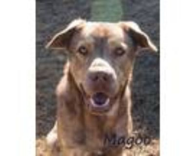 Adopt Magoo a Brown/Chocolate - with Tan Mixed Breed (Large) / Mixed dog in