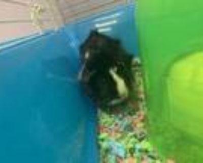 Adopt Kendrick a Guinea Pig