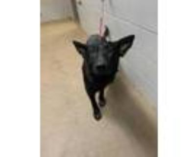 Adopt Kris* a Black Shepherd (Unknown Type) / Mixed dog in Anderson
