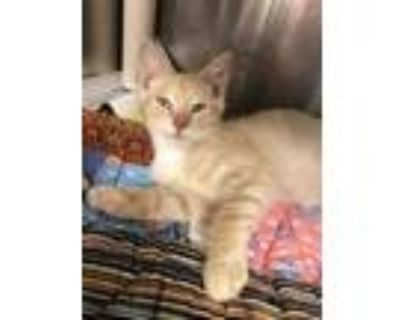 Adopt Theodore a Tan or Fawn Domestic Shorthair / Domestic Shorthair / Mixed cat