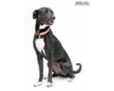 Adopt Shelby a Black Labrador Retriever / Mixed dog in Noblesville