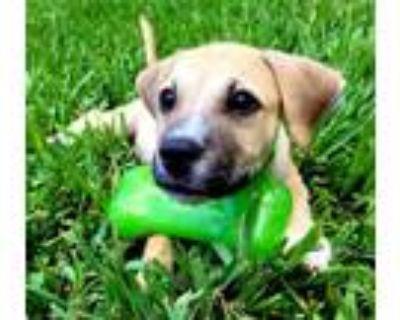 Adopt Thomas a Boxer, Labrador Retriever