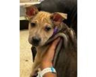 Adopt Sandstone Sandy a Tan/Yellow/Fawn Cattle Dog / Mixed dog in