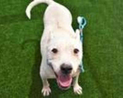 Adopt ZIPPO a White American Staffordshire Terrier / Mixed dog in Mesa