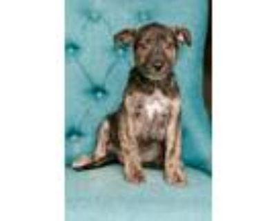 Adopt Maple a Labrador Retriever, Shepherd
