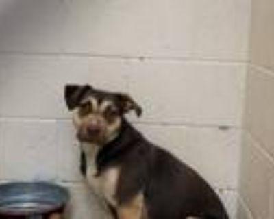 Adopt FUDGE a Pit Bull Terrier, Labrador Retriever