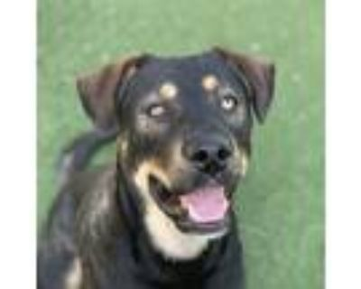 Adopt Diego a Black Rottweiler / American Staffordshire Terrier / Mixed dog in