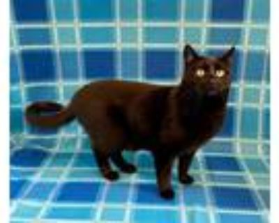 Adopt Thorn a All Black American Shorthair (short coat) cat in Manitou Springs
