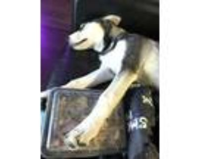Adopt Rollie a Black - with White Husky / German Shepherd Dog / Mixed dog in Los