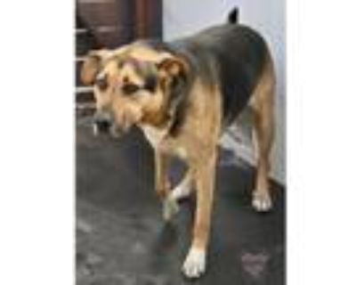 Adopt Madeline Litter-Dyson a Tricolor (Tan/Brown & Black & White) Hound