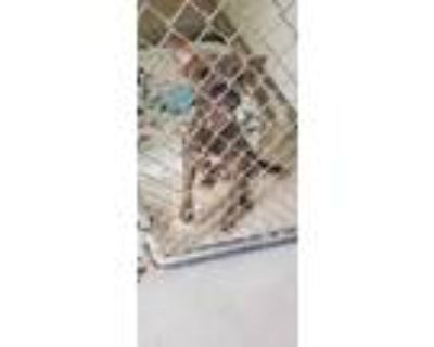 Adopt Ed a Brindle Boston Terrier / Mixed dog in Raeford, NC (32063887)