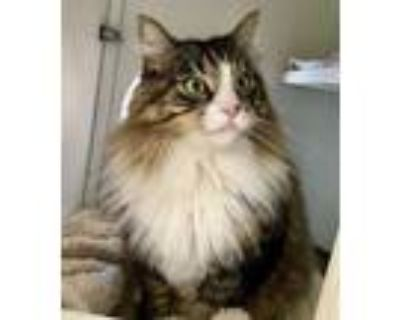 Adopt Roxy a Domestic Long Hair, Maine Coon