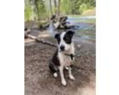 Adopt Annie a Black - with White Wirehaired Fox Terrier / Border Collie / Mixed