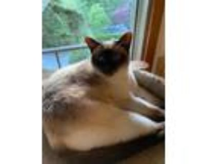Adopt Sweet Pea a Siamese / Mixed cat in Battle Ground, WA (30741536)