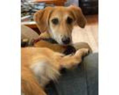 Adopt Toto a Tan/Yellow/Fawn Saluki / German Shepherd Dog / Mixed dog in Round