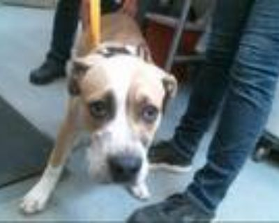 Adopt PAWZ a Tan/Yellow/Fawn - with White American Pit Bull Terrier / Mixed dog