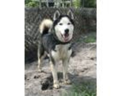 Adopt Bobby a Black - with White Husky / Mixed dog in Orlando, FL (31241007)