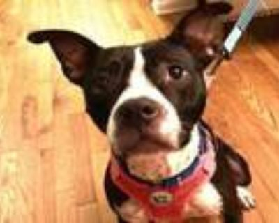 Adopt CORAL a Pit Bull Terrier, Mixed Breed