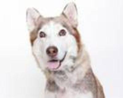 Adopt MAXINE a Siberian Husky