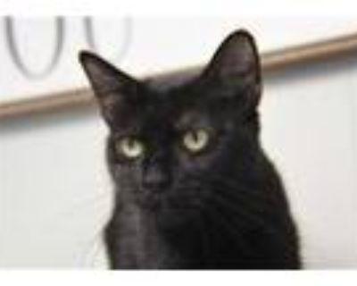 Adopt 48202840 a All Black Domestic Mediumhair / Domestic Shorthair / Mixed cat