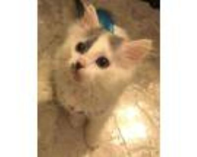 Adopt LOIS LANE a White (Mostly) American Shorthair / Mixed (short coat) cat in