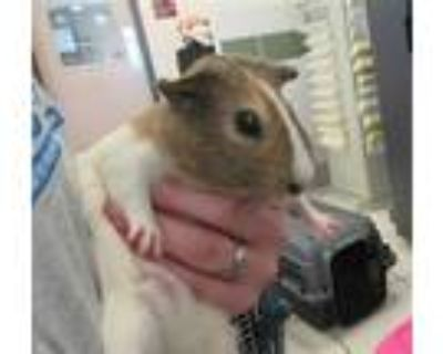 Adopt *G PIG 2 a White Guinea Pig / Mixed small animal in Derwood, MD (31616009)
