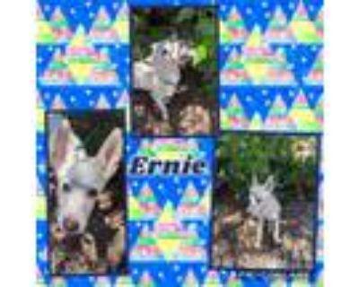 Adopt Ernie a German Shepherd Dog