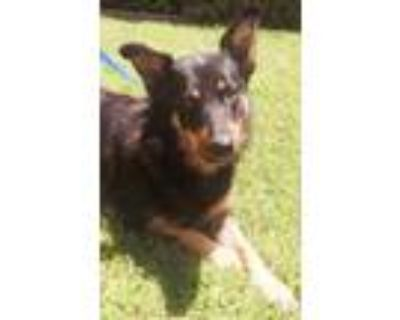 Adopt 159541 a Black Border Collie / Shepherd (Unknown Type) / Mixed dog in