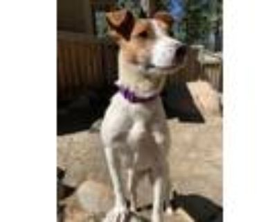 Daisy, Jack Russell Terrier For Adoption In Incline Village, Nevada