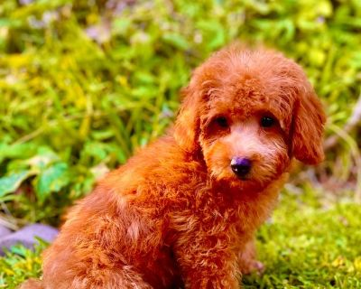 Poodle/Red-F