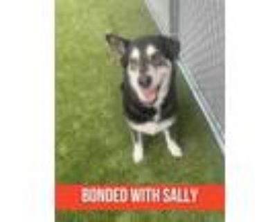 Adopt Luna (bonded with Sally) a Black Husky / Mixed dog in Noblesville