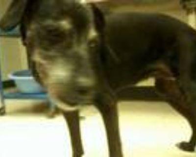 Adopt Coaltrain a Black Labrador Retriever / Mixed dog in Xenia, OH (32082061)