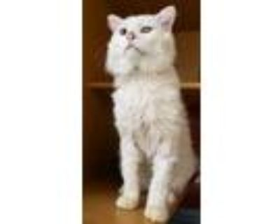 Adopt Don Juan a Cream or Ivory Siamese / Domestic Shorthair / Mixed cat in